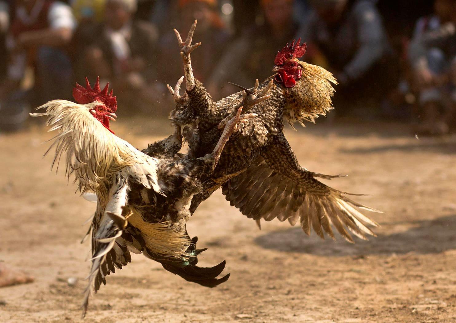 Bagaimana Cara Menang Judi Sabung Ayam S128
