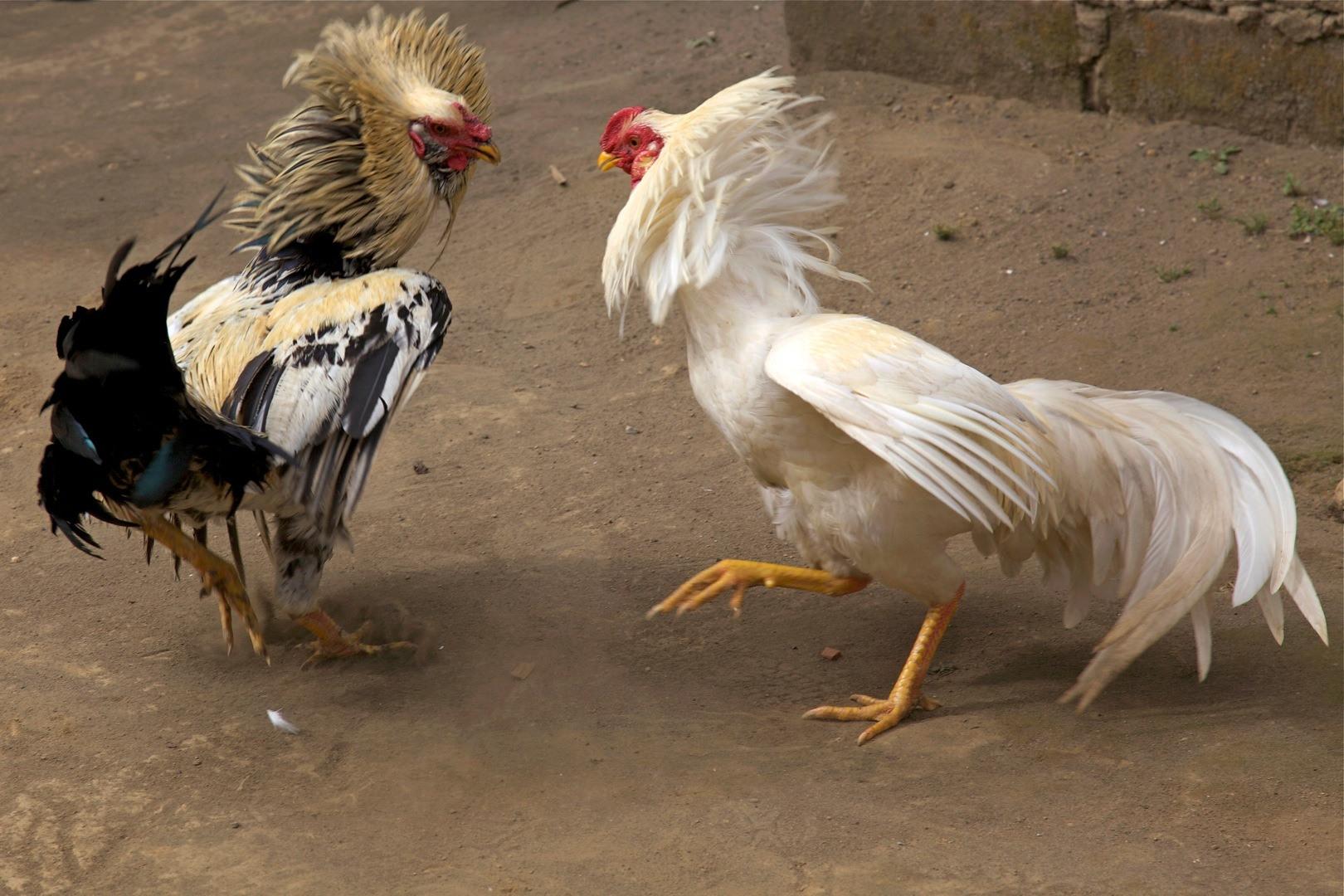 Cara Mudah Menang Judi Sabung Ayam S128
